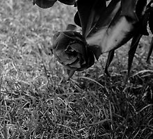 A Rose in the garden in black and white by drmador