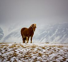 Icelandic Horse by Nordic-Photo