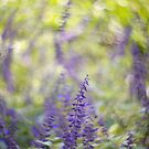 Blue Salvia by Mel Brackstone