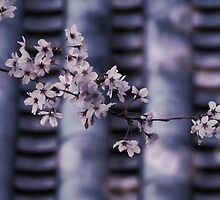 Cherry blossoms and Japanese temple roof by DerekEntwistle