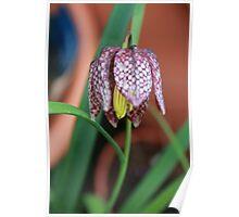 Fritillaria meleagris - Snakes Head Flower Poster
