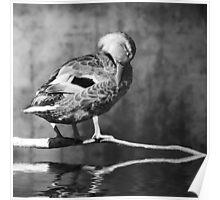 Sleeping duck 2 Poster