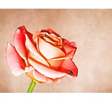 Lady rose Photographic Print