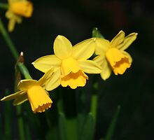 Calling the daffodils by floweryfotos