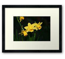 Calling the daffodils Framed Print