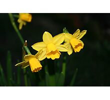 Calling the daffodils Photographic Print
