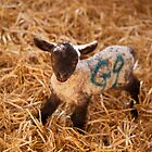Newborn lamb by Christopher Cullen