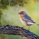 House Finch by Barbara Manis