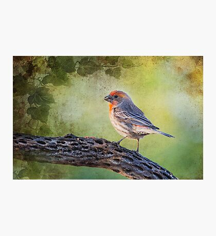 House Finch Photographic Print
