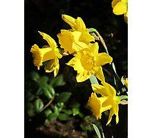 Golden Daffodils Photographic Print