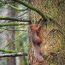 Red Squirrel by Carol Bleasdale