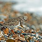 Turnstone by Sue Robinson