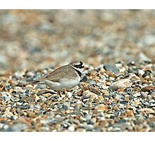 Ringed PLover Photographic Print
