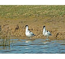 Pied Avocets Photographic Print