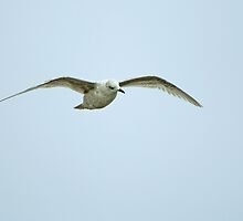 Kumlien's Gull by Sue Robinson
