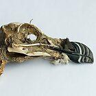 Razorbill Skull by Sue Robinson
