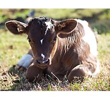 A Young Calf resting. Photographic Print