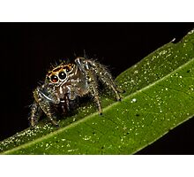 Jumping Spider 1 Photographic Print
