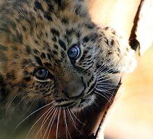Amur Leopard cub by Carol Bailey White