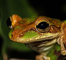 Treefrog Portrait by Symbiosis - Justin Brosey