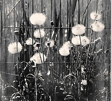 Dandelions with fence by ictor