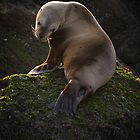 Juvenile Sea Lion on the Belle Chain by toby snelgrove  IPA