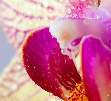 Water perls on a Orchid by chris2766