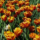 Tulips by TheJetSetter