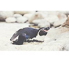 Resting Penguin Photographic Print