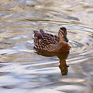 Duck floating on water. by pepsirat