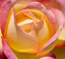 Variegated Yellow Rose  by Roger Passman