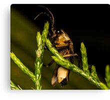 Firefly (2) Canvas Print