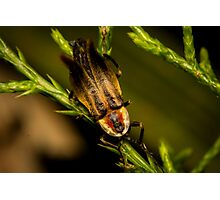 Firefly (3) Photographic Print