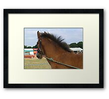 Shire Foal Framed Print