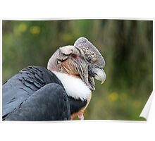 Male Andean Condor Poster