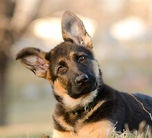 Puppy German Shepherd by TimothyCarey