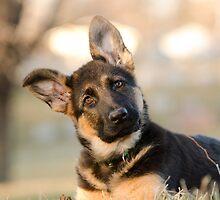 Puppy German Shepherd by TimothyCarey