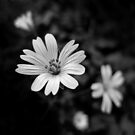 FLora Noir IV - White times 4 by Peter Zentjens