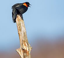 Red Winged Blackbird by Bill Wakeley