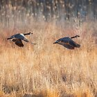 Canada Geese Square by Bill Wakeley
