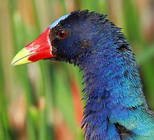 A Purple Gallinule profile by jozi1