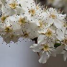 Pear Bouquet Branch by Bob Hardy