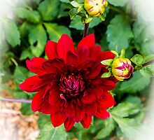 The Red Dahlia by thomr