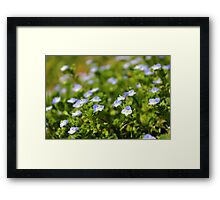 Tiny blue beauties Framed Print
