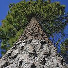 Big Bear Pine Tree by Cameron Feuerstein