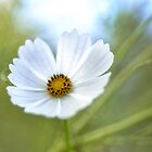 White Cosmos by Dianne English