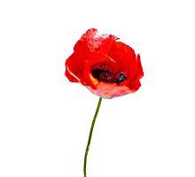 poppy flower by laikaincosmos