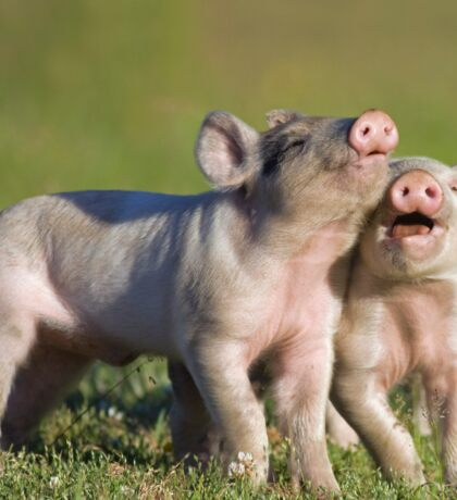 Two Cute Piglets Playing Sticker