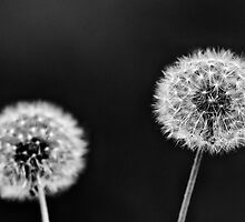 Dandelion Study 23 by leifrogers