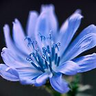 Chicory by the Road by leifrogers